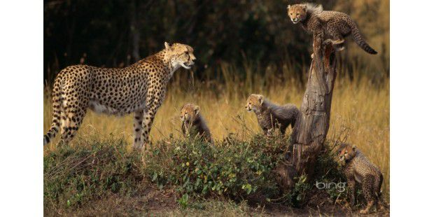 CheetahFamily1920x1200